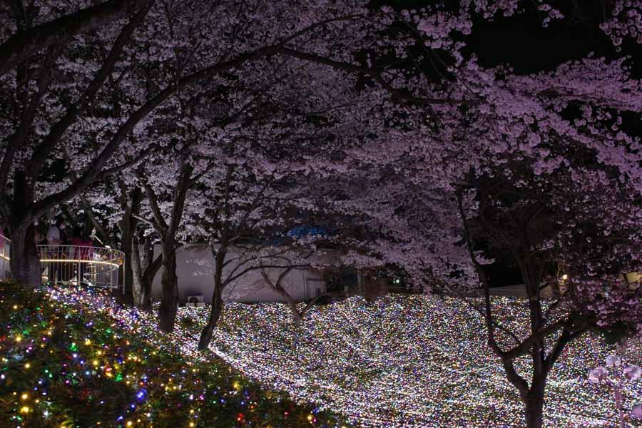 桜とイルミネーション2