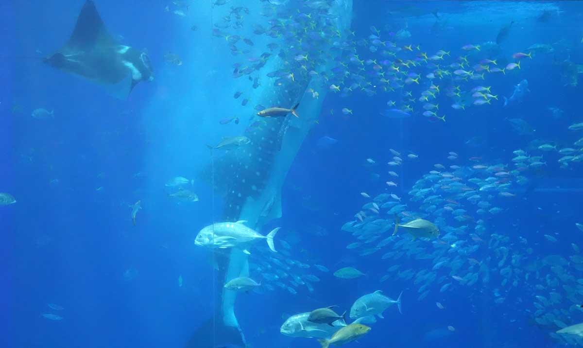 美ら海水族館ジンベイ餌やりシーン